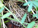 More Northern Leopard Frogs