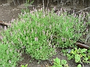More Common Fumitory