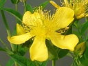 More Great St John's Wort
