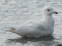 More Iceland Gulls