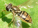 Toxomerus marginatus Hover Fly