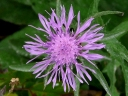 More Spotted Knapweed
