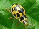 More Fourteen-spotted Ladybugs