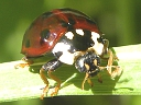 More 15-spotted Ladybugs