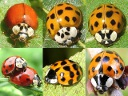 More Asian Ladybugs