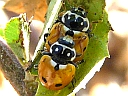 More Variegated Ladybugs