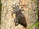 More A. terminalis Leaf-footed Bugs