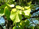 More Little-leaf Linden