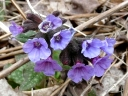 More Common Lungwort