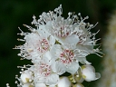 More Narrow-leaved Meadowsweet
