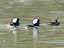 More Hooded Merganser Ducks