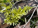 Cypress-leaved Plait Moss