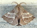 Lappet Moths & Tent Caterpillars