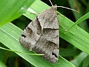 More Forage Looper Moths
