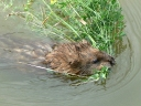 More Muskrats