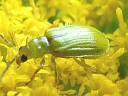 Northern Corn Rootworm