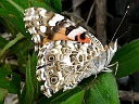 More Painted Lady Butterflies