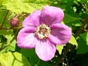 More Purple-flowering Raspberry