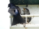 More Purple Martins