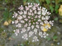 More Queen Anne's Lace