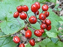 More Red Baneberry