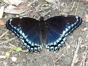 White Admiral / Red-spotted Purple Intergrade