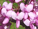 More Eastern Redbud