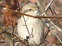 More Northern Shrikes