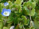 More Field Speedwell