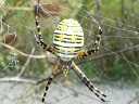 Banded Argiope female