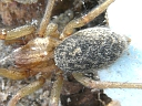 Tegenaria agrestis