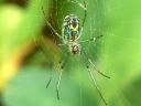 More Orchard Orbweaver Spiders