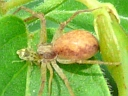 Philodromus species