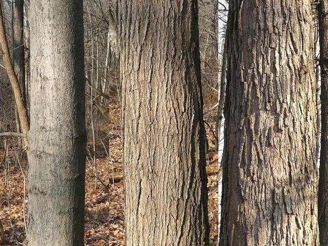 Toronto Wildlife More Sugar Maple - Norway maple bark