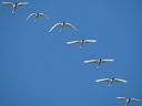 More Tundra Swans