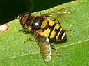 Transverse Hover Fly