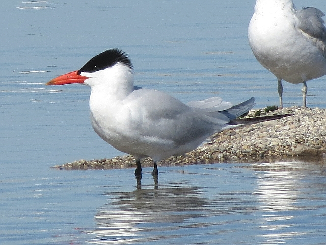 Toronto Wildlife - Gulls & Terns