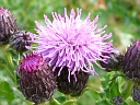 More Canada Thistle