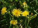 More Field Sow Thistle