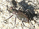 More Twelve-spotted Tiger Beetles