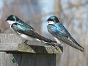 More Tree Swallows