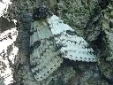 More White Underwing Moth