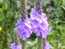 More Hoary Vervain
