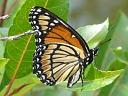 More Viceroy Butterflies