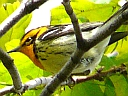 More Blackburnian Warblers