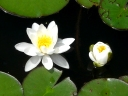 Water-lily Family