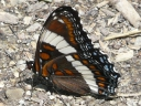 More White Admiral Butterflies