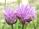 More Wild Chives