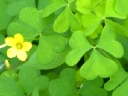 Wood Sorrel Family