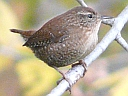More Winter Wrens